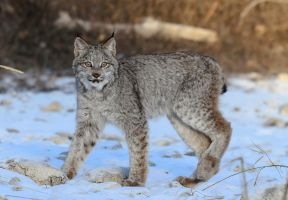 Canadian Lynx VI by White-Voodoo