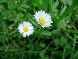 Wild Daisies by 44blueroses
