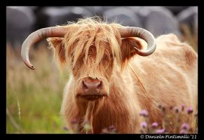 Hieland Coo II by TVD-Photography
