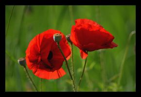 Enfin des Coquelicots... by Feufoll3t