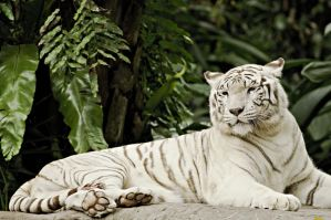 White Tiger by razzman038