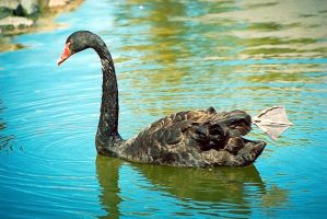 Black swan by robee-V