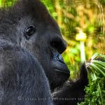 Gorilla Breakfast by SharonLeggDigitalArt