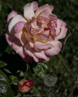 Pink Rose PS by boron