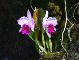Unnamed Cattleya by SharpM1nd