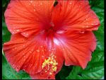 Hibiscus 3 by javv556