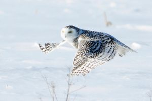 snowy owl 2 by RichardRobert