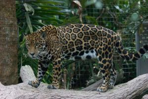 Female Jaguar by RhiskandPeril
