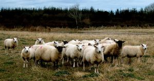 SHEEP 4 by ruthey