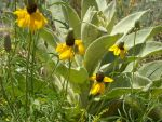 Coneflower with Mullein by GreyhoundRacer