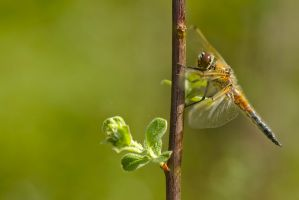 Four-Spotted Chaser Resting by andabata
