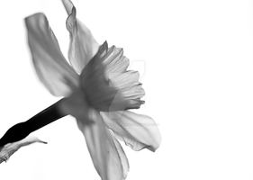 Daffodil X-Ray by iconsPhotography