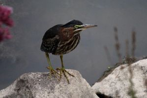 Green heron at rest. by sweatangel