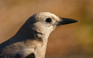 Clark's Nutcracker by JesseAlveo
