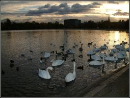 sunset swans by littlefishey