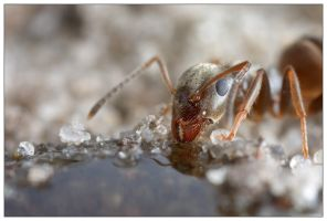 Drinking Ant 1 by EdwinBont