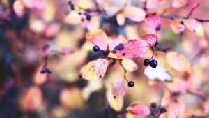 Autumn Aronia by TriinErg