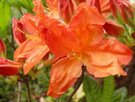 Rhododendron Reverie 3 by JanuaryGuest