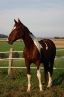 American Saddlebred Stock 48 by LuDa-Stock