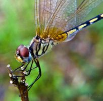 Dragonfly 5 by Jastan