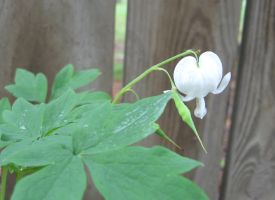 Bleeding hearts white 2 by Reyphotos
