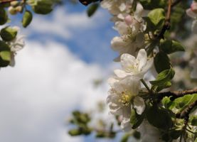 Apple blossoms 2 by Tyyourshoes