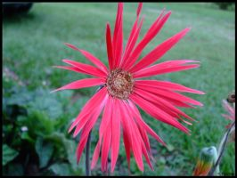 Pink to Redish Flower by p858snake
