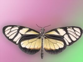 Olyras insignis Butterfly by Chlodulfa