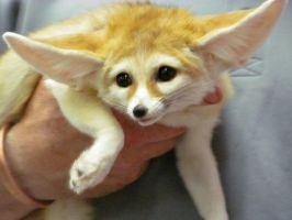 Fennec Fox by Lupas-Deva