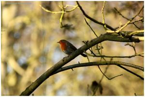 Robin On Branch by In-the-picture