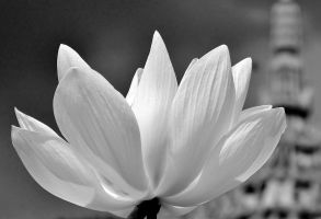 White Lotus by redsox1830