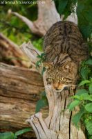 Wildcat 04 by Alannah-Hawker