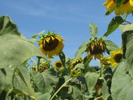 Sunflower 07 by Party-Hat-Cat