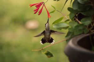 Hummer and Honeysuckle by taliesin86001