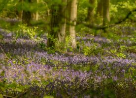 The Bluebells by Kaz-D