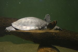 Fly River Turtle by GeodeLady