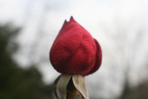 Blood Red Winter Rose by livelaughlove816
