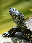 Turtle by Burgi595