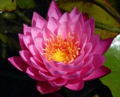 Pink Lotus by wannabesedated20
