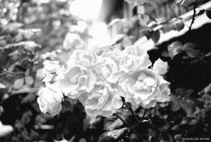 White Flowers by CharliePhotos