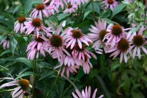 view to echinacea by ingeline-art