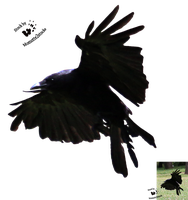 Cut-out stock PNG 70 - flying crow by Momotte2stocks