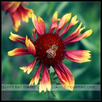 Bee on Blanket Flower by Karl-B