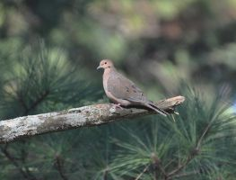 Another Lonesome Dove by Tailgun2009