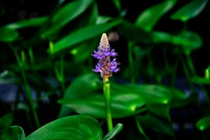 Pickerelweed by nukethewhalez
