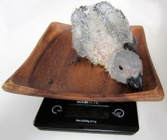 Baby african grey parrot, 4 weeks old by Divenadesign