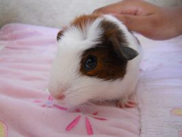 Our new guinea pig- Callie by Imalittlefox