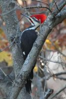Pileated by mydigitalmind