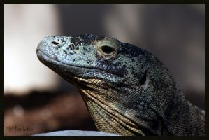 Komodo Dragon by shutterbugmom