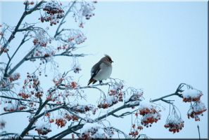 Waxwing by Ryoo-09